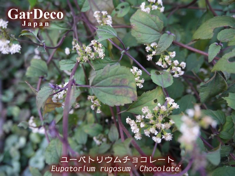 花が咲き終わって色が変わり始めたユーパトリウムチョコレートの葉