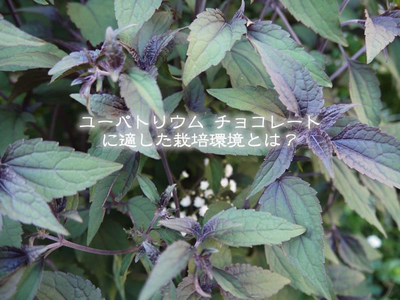 ユーパトリウムチョコレート(ユーパトリウム・チョコラータ)に適した栽培環境とは?