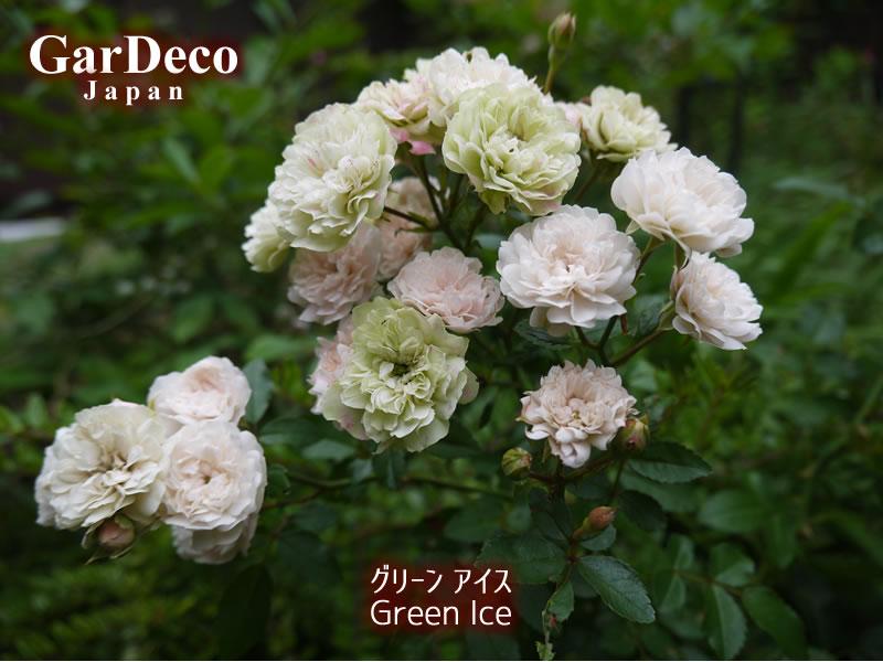 おすすめのバラ(薔薇)、グリーンアイス