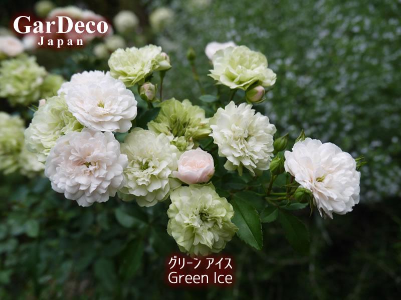グリーンアイスは白~淡いピンク~淡いグリーンへと花色の変化が楽しめるミニバラです。