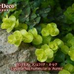 グランドカバーにおすすめの植物 : リシマキア・ヌンムラリア・オーレア