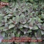 グランドカバーにおすすめの植物 : リシマキア・ミッドナイトサン
