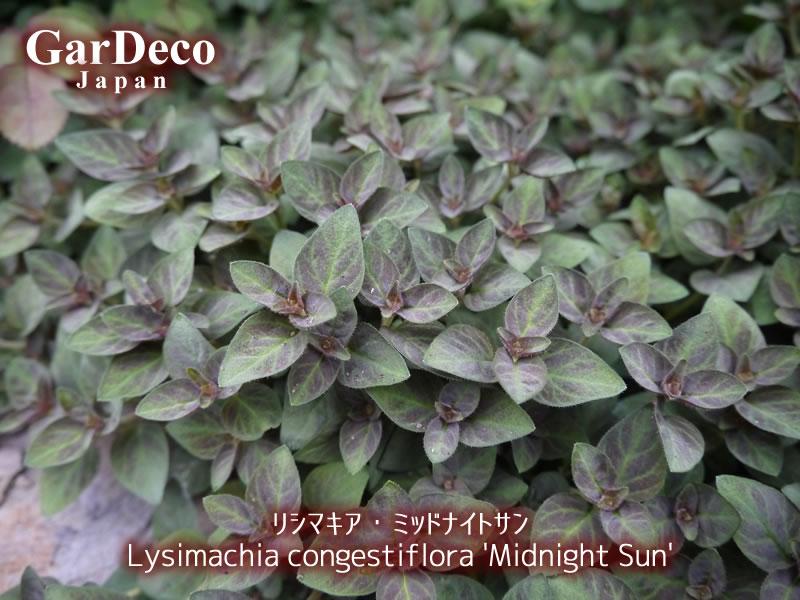 グランドカバーにおすすめの植物、リシマキア・ミッドナイトサン