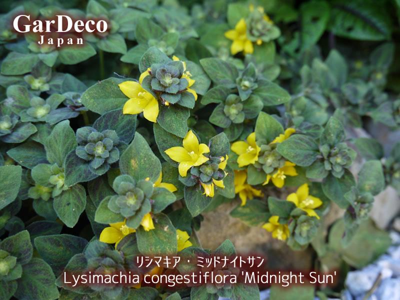 リシマキア・ミッドナイトサンの花