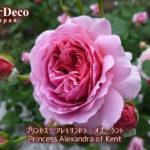 おすすめのバラ : プリンセス・アレキサンドラ・オブ・ケント