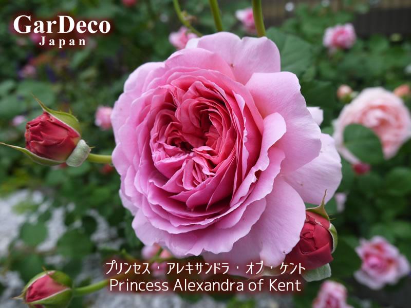おすすめのバラ、プリンセスアレキサンドラオブケント