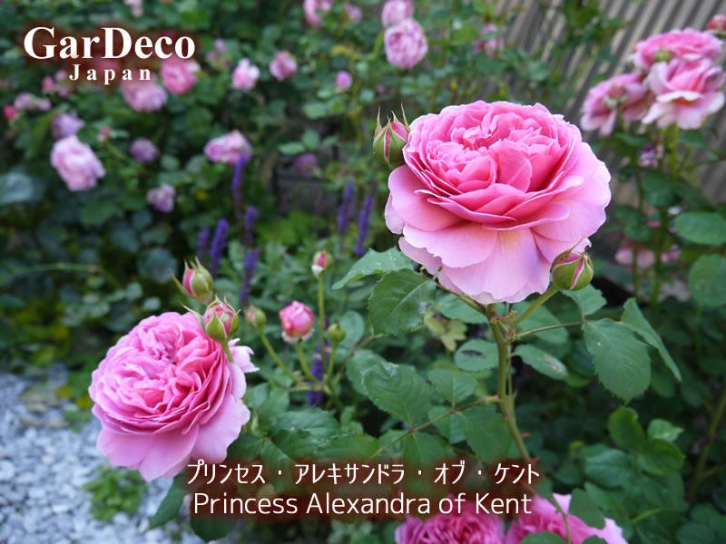 四季咲き性の良いバラ、プリンセスアレキサンドラオブケント