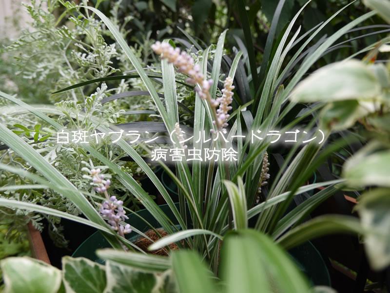 白斑ヤブラン(シルバードラゴン)の病害虫防除