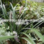 白斑ヤブラン(シルバードラゴン)の増やし方・殖やし方