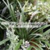 白斑ヤブラン(シルバードラゴン)に適した栽培環境とは?