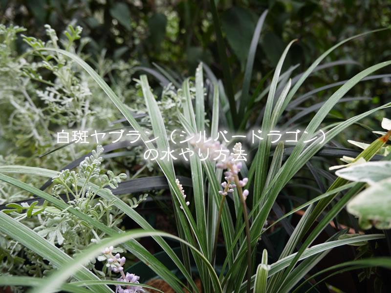 白斑ヤブラン(シルバードラゴン)の水やり方法