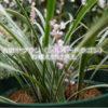 白斑ヤブラン(シルバードラゴン)の植え付け用土