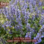 おすすめのグランドカバー植物 : アジュガ・チョコレートチップ