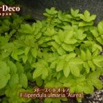 おすすめのカラーリーフ植物 : メド―スイート オーレア