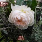 おすすめのバラ : ボレロ