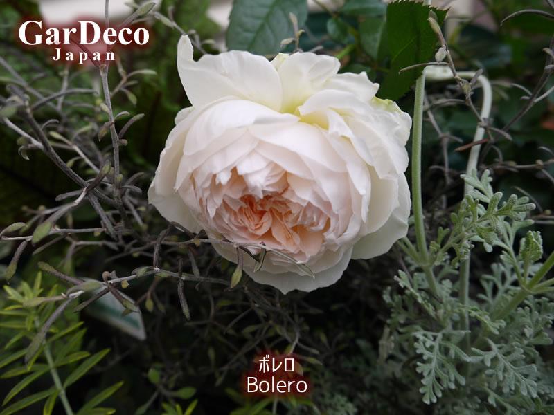 オススメの白バラ、ボレロ