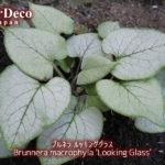 おすすめシルバーリーフ植物 : ブルネラ・ルッキンググラス