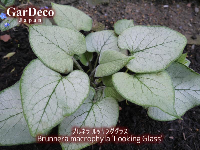 おすすめシルバーリーフ植物、ブルネラ・るっきいんぐグラス