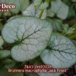 おすすめシルバーリーフ植物 : ブルネラ・ジャックフロスト