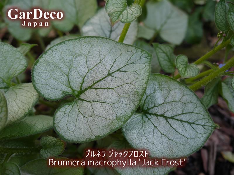 おすすめシルバーリーフ植物、ブルネラ・ジャックフロスト