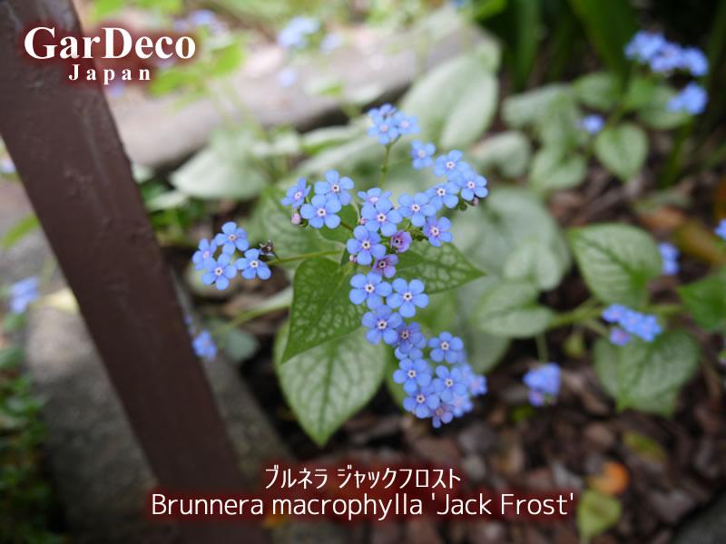 ブルネラ・ジャックフロストの花