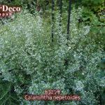 おすすめの宿根草 : カラミンサ