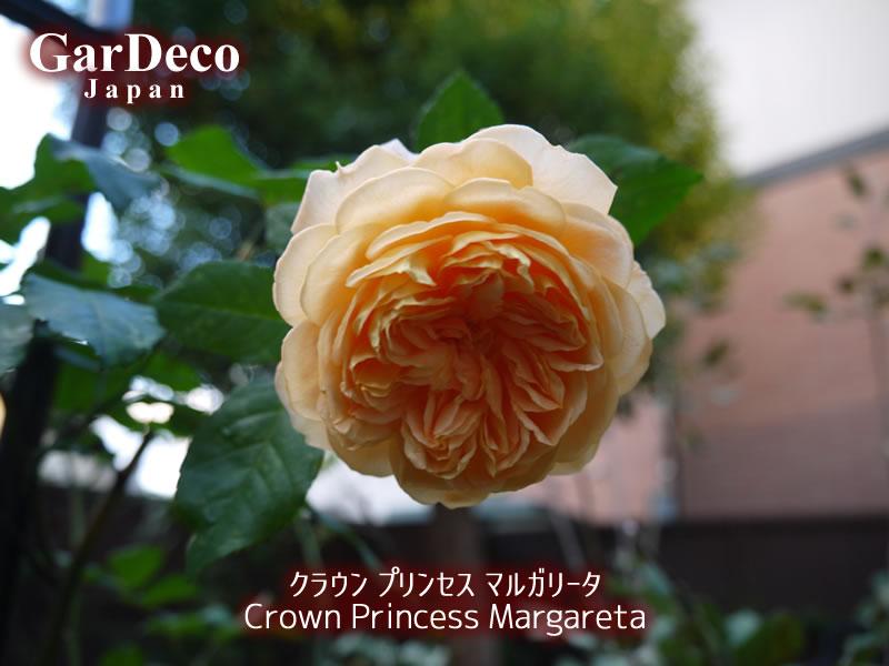 クラウンプリンセスマルガリータの写真・画像