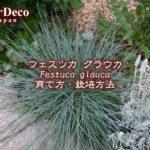 フェスツカグラウカの育て方・栽培方法