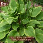 日陰におすすめの植物 : ギボウシ(ホスタ)ゴールデンティアラ