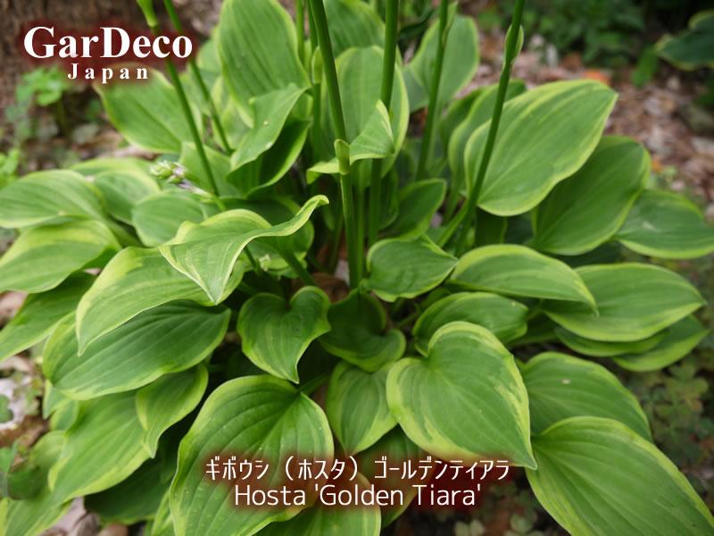 日陰の庭(シェードガーデン)におすすめの植物、ギボウシ(ホスタ)ゴールデンティアラ