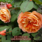 おすすめのバラ : レディ・エマ・ハミルトン
