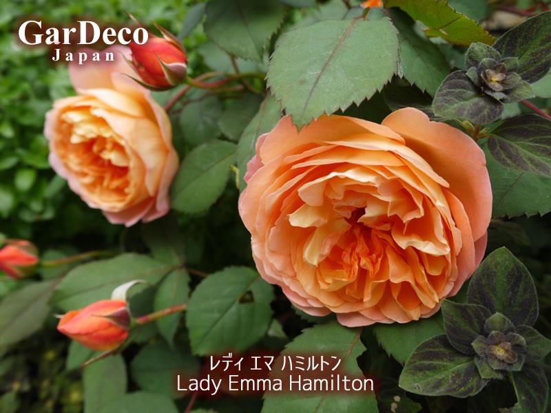 おすすめのバラ(薔薇)、レディエマハミルトン