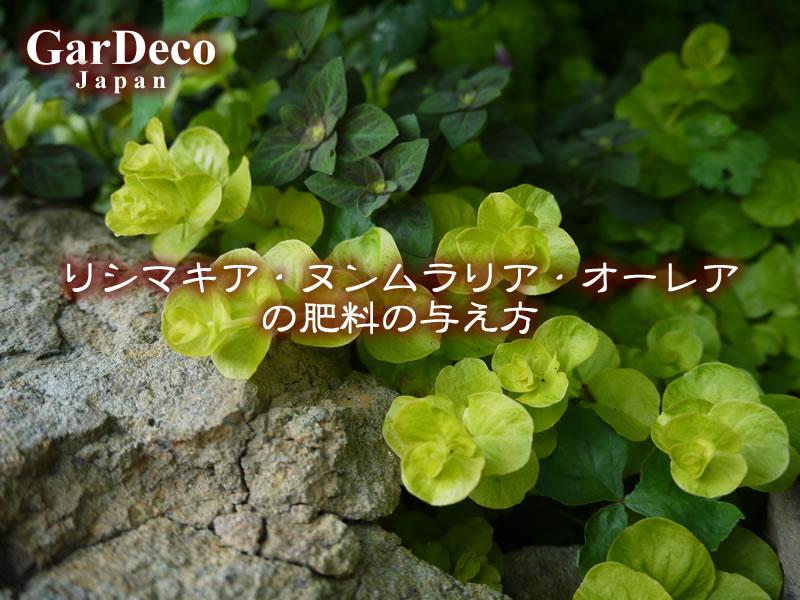 リシマキア・ヌンムラリア・オーレアの肥料の与え方