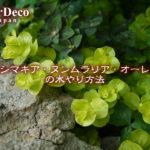 リシマキア・ヌンムラリア・オーレアの水やり方法