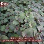 銅葉リシマキア・ミッドナイトサンが密に、茂る。
