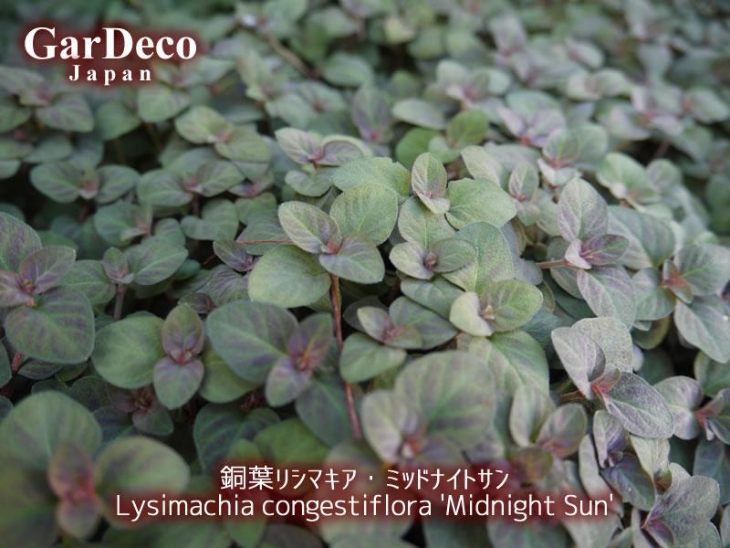 銅葉リシマキア・ミッドナイトサンが密に茂っています。