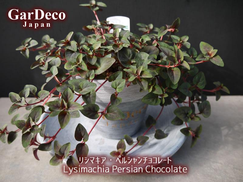 おすすめのカラーリーフ植物 : リシマキア・ペルシャンチョコレート