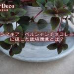 リシマキア・ペルシャンチョコレートに適した栽培環境とは?