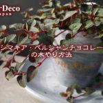 リシマキア・ペルシャンチョコレートの水やり方法
