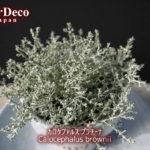 おすすめのシルバーリーフ植物 : カロケファルス・プラチーナ