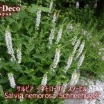 バラと相性の良いおすすめ植物 : サルビア・ネモローサ・スノーヒル
