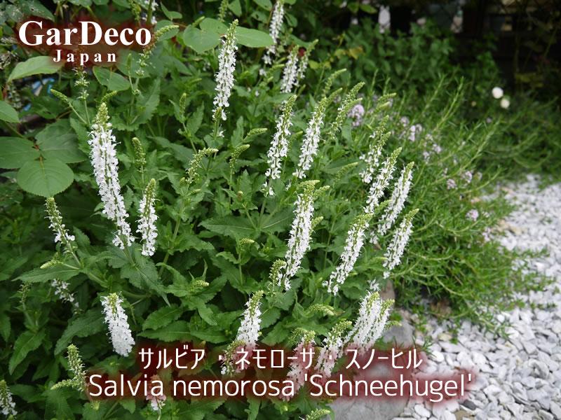 バラと相性の良いおすすめ植物、サルビア・ネモローサ・スノーヒル