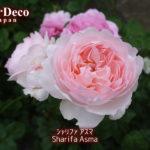 おすすめのバラ : シャリファ・アスマ