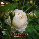 おすすめのバラ : ウィンダミア(ウィンダーメア)