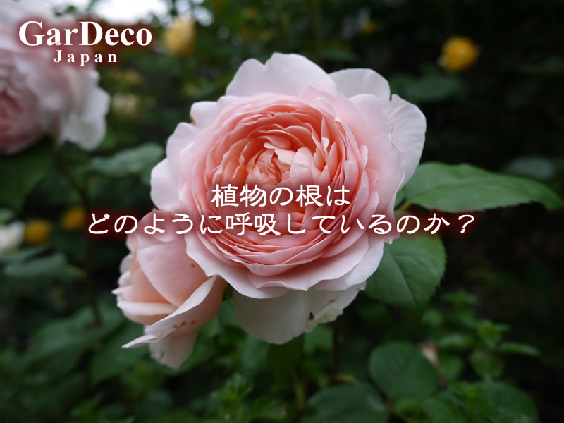 植物の根はどのように呼吸しているのか?