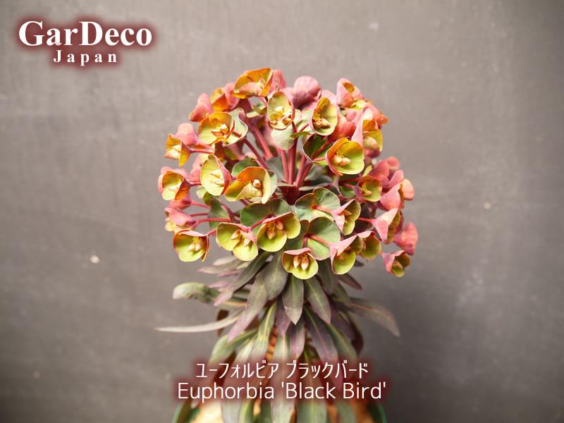 黒みがかった銅葉がシックな印象のユーフォルビア・ブラックバード