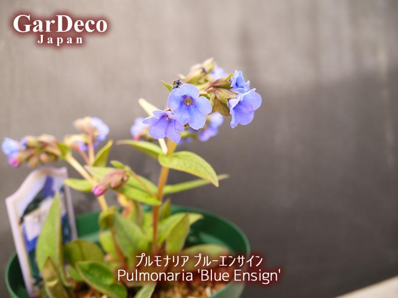 プルモナリア・ブルーエンサインの花