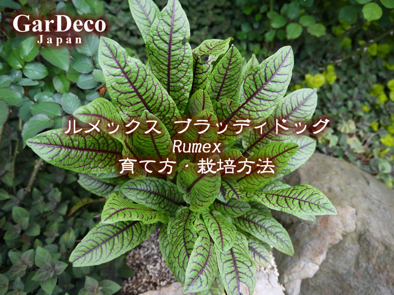 ルメックス・ブラッディドッグ(赤すじソレル)の育て方・栽培方法