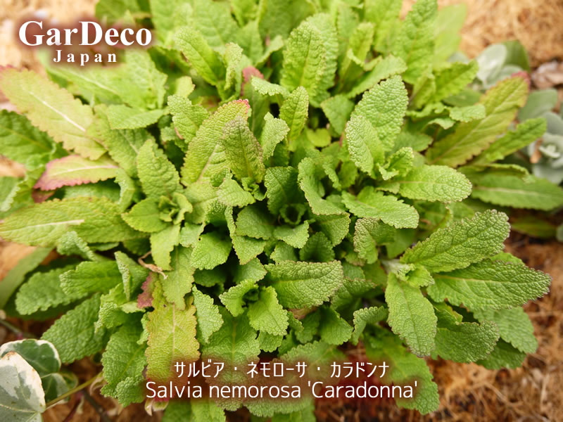サルビアネモローサカラドンナが芽吹き始めました。