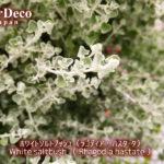 ホワイトソルトブッシュ(ラゴディアハスタータ)はシルバーリーフが魅力の低木。